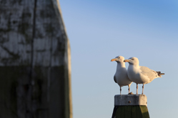 seagulls on a mooring post