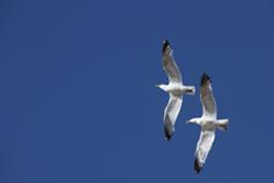 seagull thumb